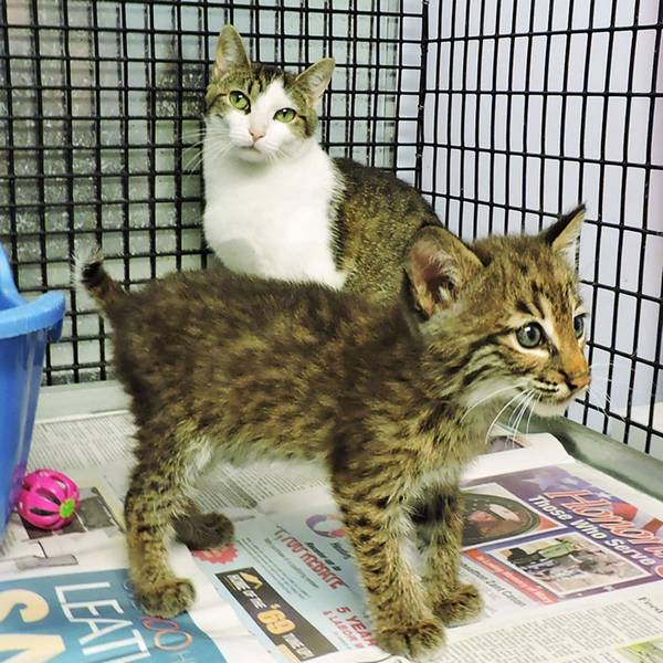 bebe-lynx-orphelin-maman-chat-6