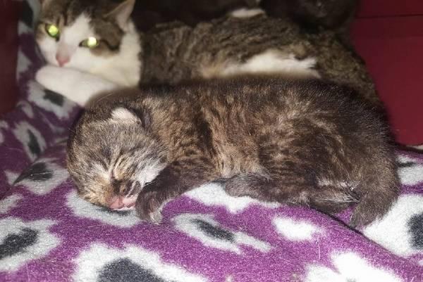 bebe-lynx-orphelin-maman-chat-7