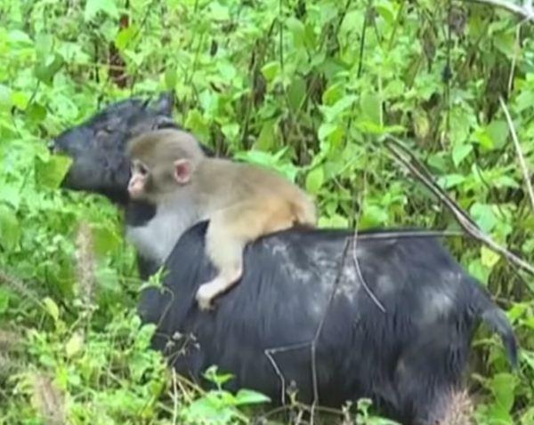 bebe-singe-orphelin-chevre