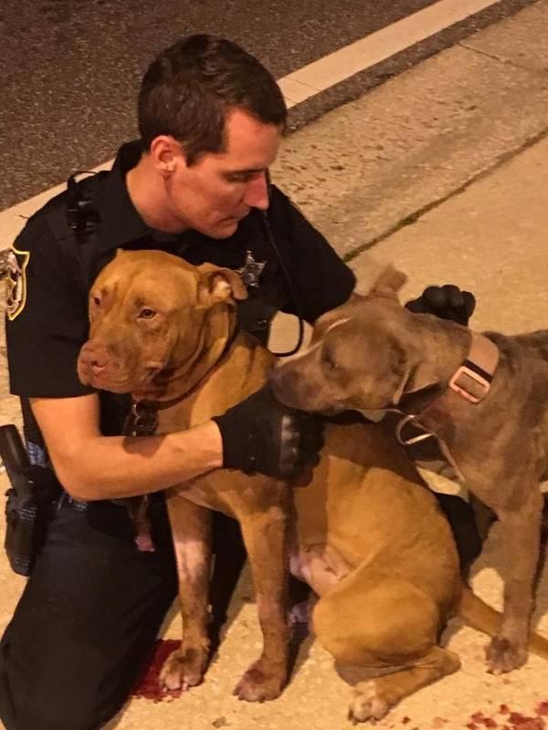 pitbulls-chiennes-policiers-2
