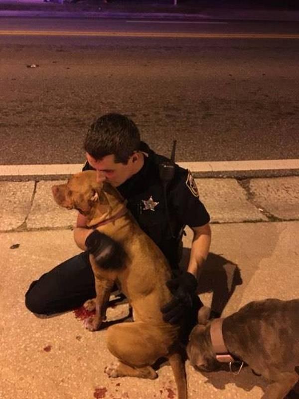 pitbulls-chiennes-policiers-3
